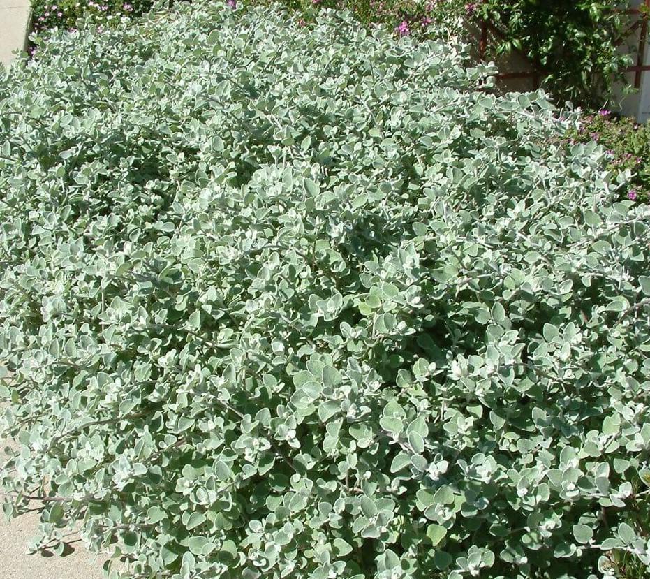 Licorice plant Helichrysum petiolare